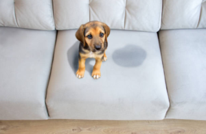 Dog pee odor couch