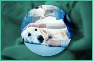 Dog preparing for surgery