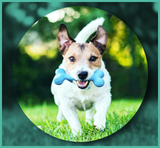 Dog running with a toy
