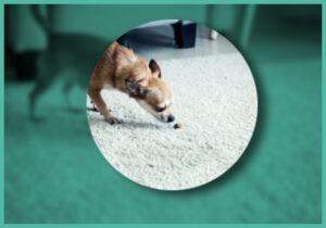 Dog smelling poop