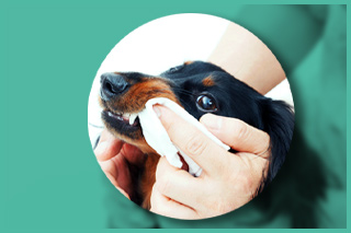 Dog teeth cleaning with dental wipes