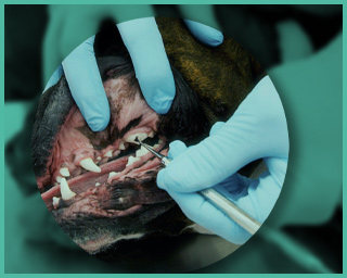 Dog teeth treatment