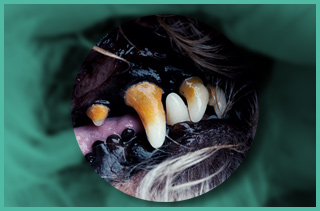 Dog teeth with gingivitis