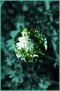 Eyebright plant euphrasia