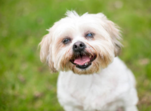 Dog Cataracts