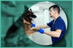 Doctor helping german shepherd