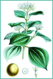 Herb nux vomica