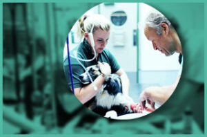 Surgical treatment in dogs