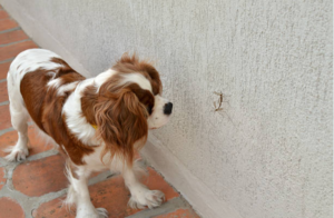 Dog looking at mosquito infected with a heartworm