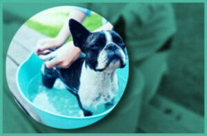Dog bathing with shampoo