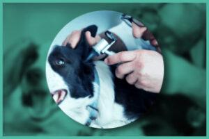 Dog ear exam