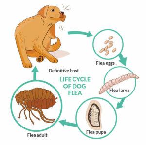 Life cycle of dog flea
