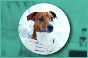 Dog Heartworm Knott test