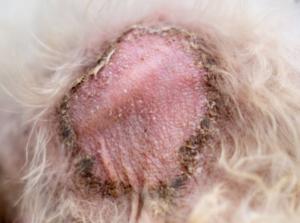 Dog Ringworm skin