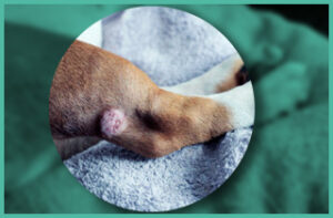 Leg Swelling in Dogs Caused by Infections