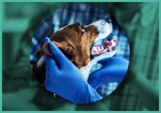 Veterinary checking dog