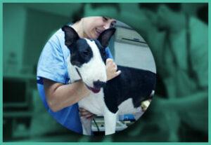 Bull terrier at veterinary