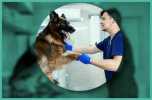 German shepherd at veterinary